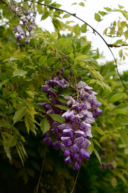 wisteria-blossom