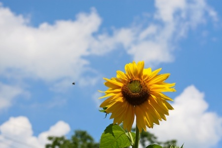 Sunflower_against_blue_sky