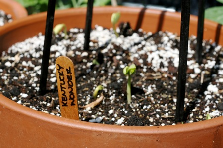 Kentucky Wonder Pole Bean Sprouts