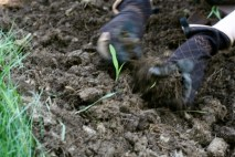 planting corn seedlings 2