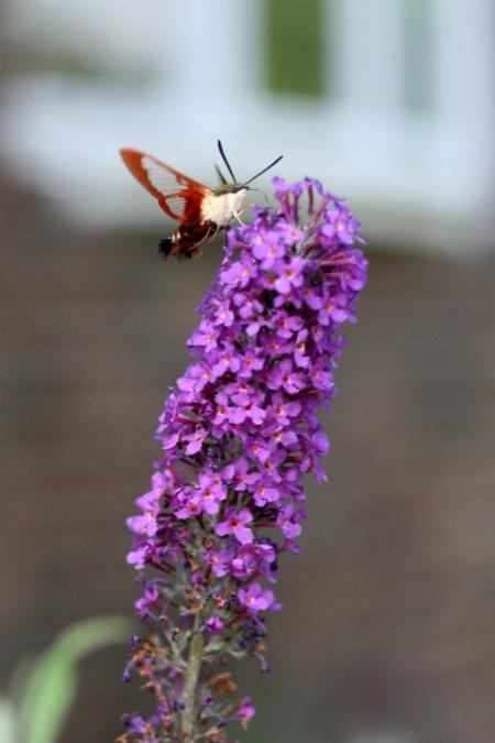 Hummingbird_moth_1