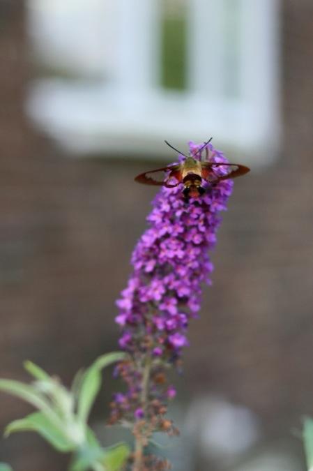 hummingbird_moth