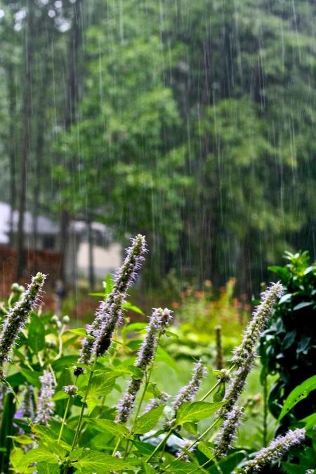 Rain_on_Hyssop