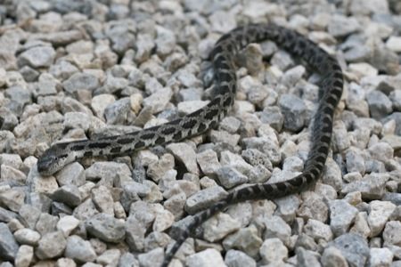 baby_black_rat_snake_on_gravel