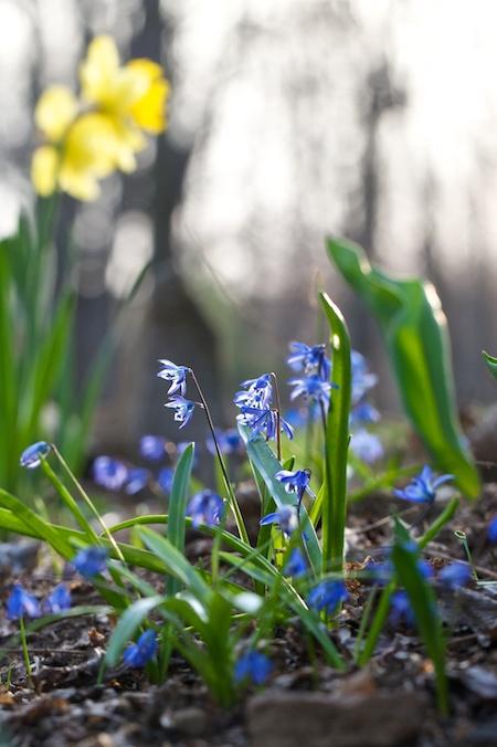 scilla_blooming