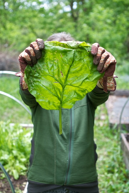 giant_winter_spinach_leaf
