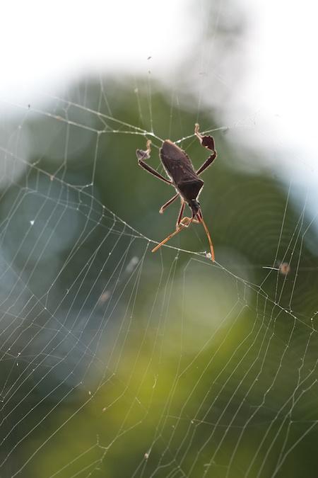 squash_Bug_in_spider_web
