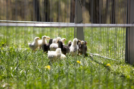 Chicks on pasture 1