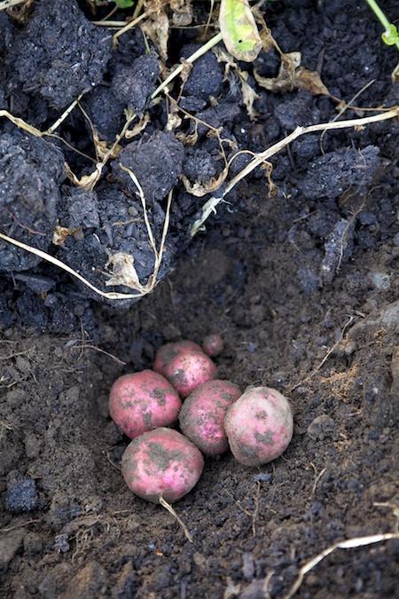 Dark Red Norland Potatoes