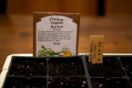 starting onion seeds 1