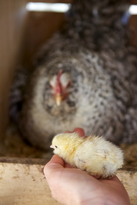 broody hen and chicks 2