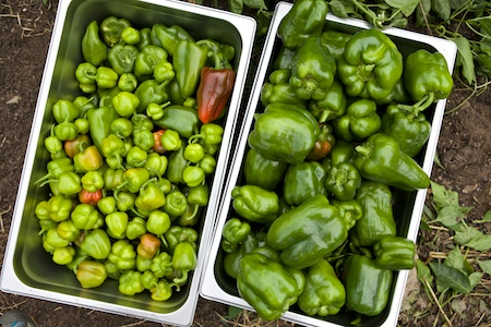 picking peppers 1