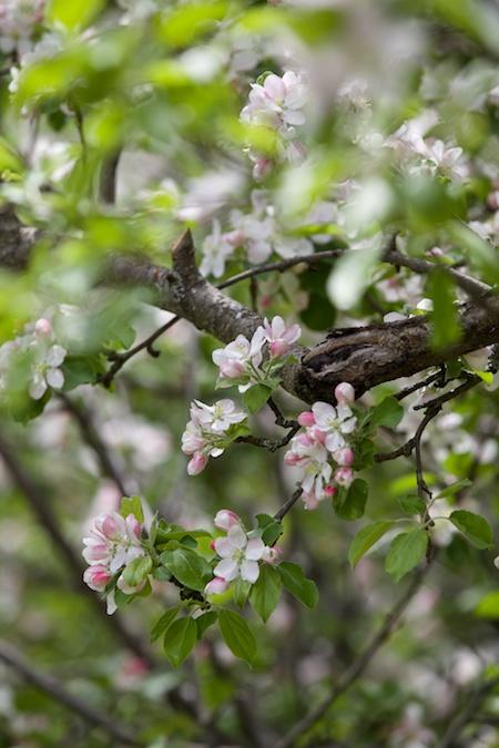 apple tree in bloom 4