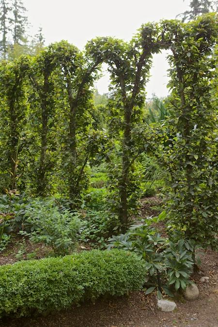Herronswood hedge garden 6