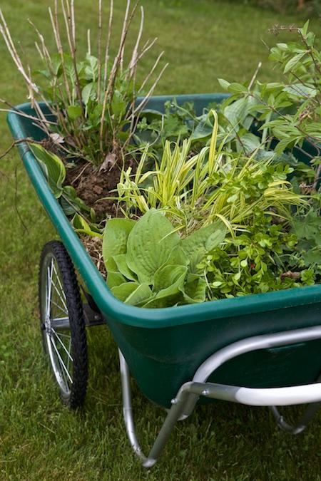 tranplanting plants