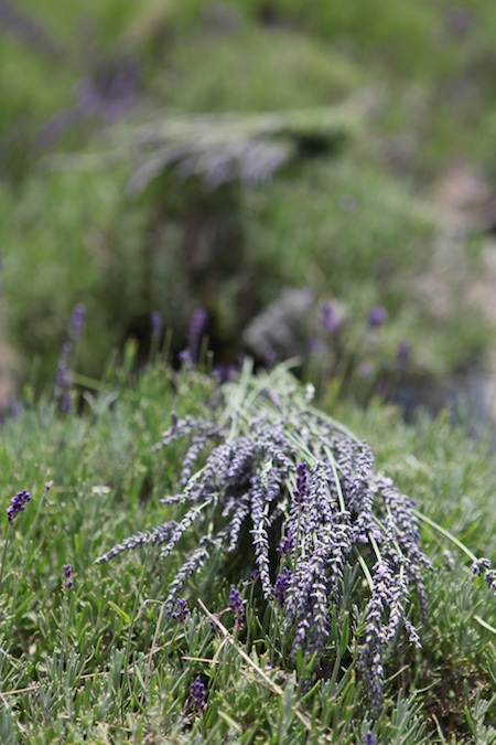 glandarragh lavender farm in maine 3