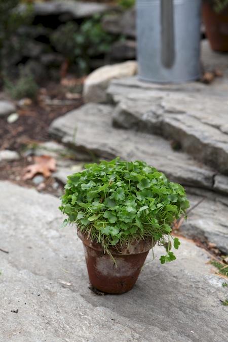 kennilworth-ivy-3