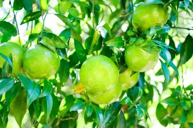 tangerines on a tree