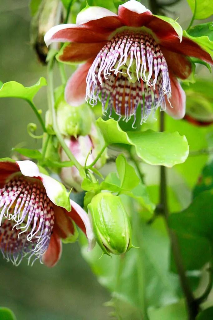 flore de maracuyá