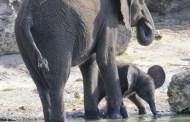 Baby Elephant Takes First Steps on Kilimanjaro Safaris Savannah