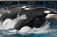 Sea World's killer whale Tilikum has died