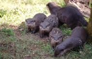 The Tree of Life Otter Pups at Disney's Animal Kingdom Have Been Named