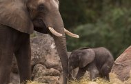Baby Elephant, Stella, Celebrates Her First Birthday at Disney's Animal Kingdom