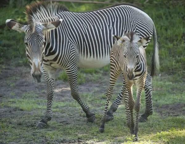 Gervy's Zebra Foals