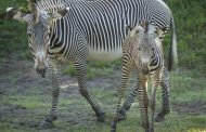 Two New Adorable Gervy's Zebra Foals Spotted at Animal Kingdom!