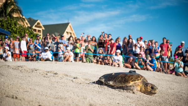 Tour de Turtles Event At Disney's Vero Beach Scheduled For July 1