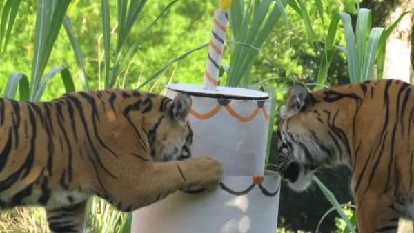 Happy 1st Birthday To Animal Kingdom Tiger Cubs Anala and Jeda! 2