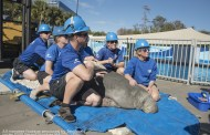 Sea World Providing Care to Rescued Cold-Stressed Manatee