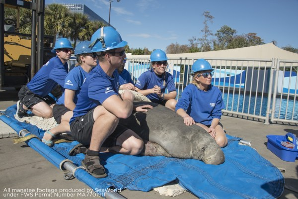 Sea World Providing Care to Rescued Cold Stressed Manatee