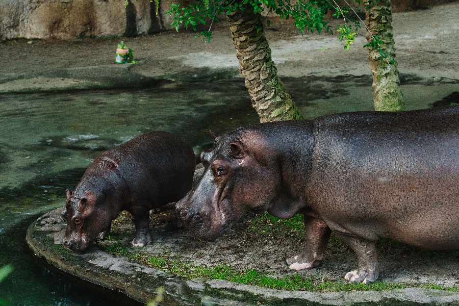Augustus the Hippo Celebrates 1st Birthday at Animal Kingdom
