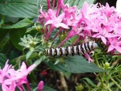 butterflyfg2