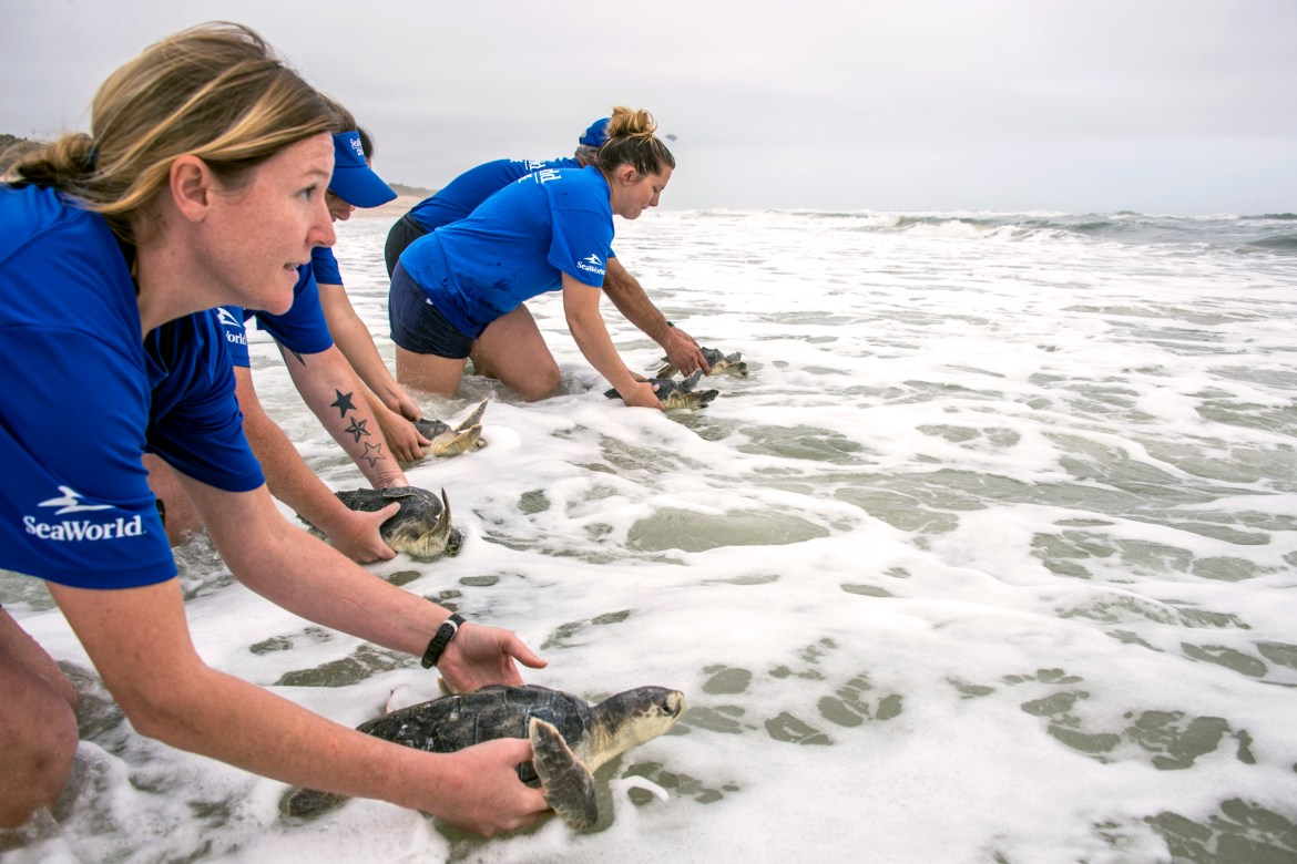 Endangered Sea Turtles Returned to the Ocean