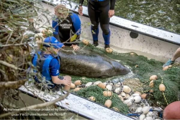 SeaWorld Rescue Team Saves Juvenile Manatee 3