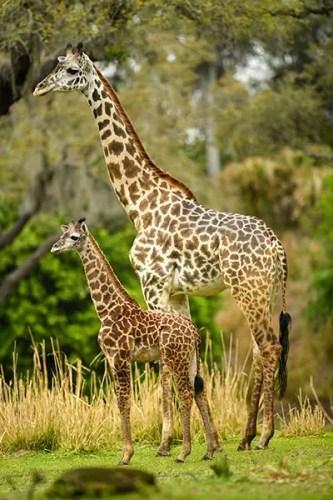 Jabari Giraffe