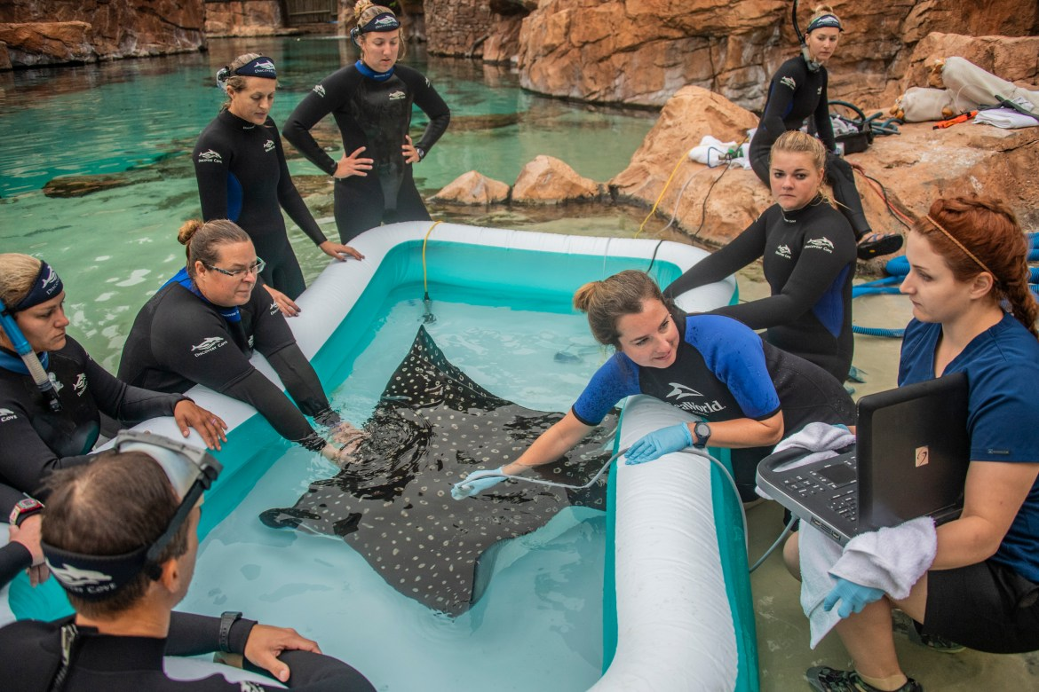 Discovery Cove Announces Birth of Spotted Eagles Ray Pups
