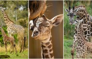 Happy Mother's Day with a Look at the Masai Giraffe Mamas and Their Babies!