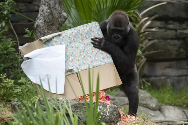 New Addition To Animal Kingdom's Gorilla Family