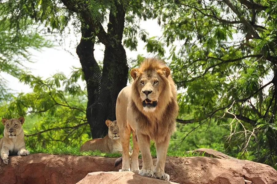 "Help ""Protect The Pride"" With Disney's Kilimanjaro Safari Expedition"