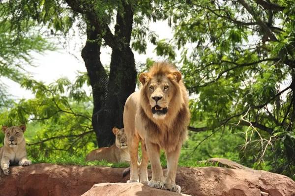 "Help ""Protect The Pride"" With Disney's Kilimanjaro Safari Expedition 1"
