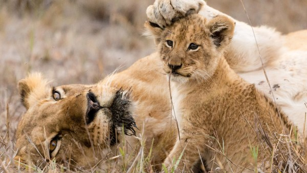 """Celebrate """"The Lion King"""" by Entering to Win an Epic Adventures by Disney South African Safari Vacation 2"""