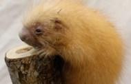 Baby Porcupine born at Disney's Animal Kingdom