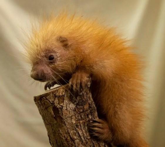 Baby Porcupine born at Disney's Animal Kingdom 1