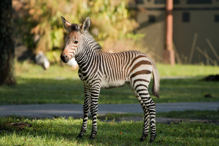 Meet The Zebra Foal Born At Disney's Animal Kingdom Lodge