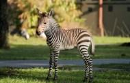 Meet The Zebra Foal Born At Disney's Animal Kingdom Lodge