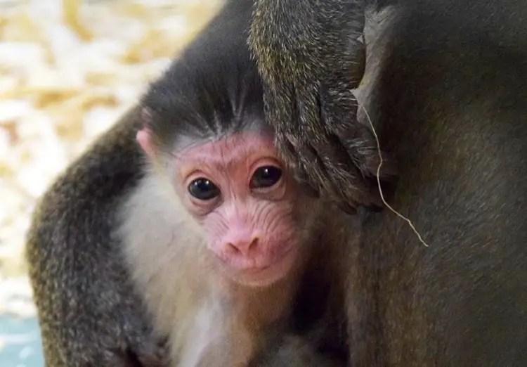 Baby Mandrill Monkey born at Disney's Animal Kingom