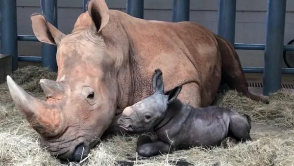 White Rhinoceros gives birth at Disney's Animal Kingdom 2